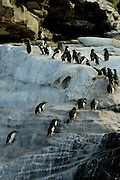 Felsenpinguine (Eudyptes chrysocome) sind mutig und gewandt im felsigen Terrain unterwegs.| Unafraid the rockhopper penguins (Eudyptes chrysocome) move  in the rocky terrain.