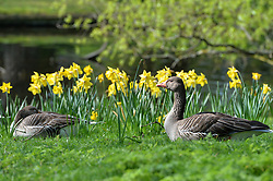 Two ducks sit in the warm sunny weather surrounded by spring flowers in London's Regent Park.<br /> Tuesday, 1st April 2014. Picture by Ben Stevens / i-Images