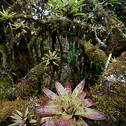 Bromeliads. Wayqecha Biological Reserve on the Eastern slopes of the Peruvian Andes. Cloud forest at 2950 meters elevation. The reserve is managed by the Amazon Conservation Association and the Asociación para la Conservación de la Cuenca Amazónica.