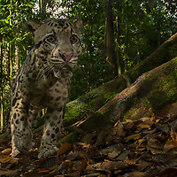 A large male Bornean Clouded Leopard (Neofelis diardi) is caught on camera trap as he patrols his territory in the rainforest of Danum Valley, Sabah. Borneo's largest cat species, the clouded leopard preys on a variety of smaller wildlife ranging from deer and wild boar to monkeys. Sabah, Malaysia.