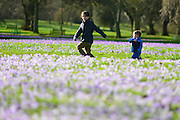 © Licensed to London News Pictures. 21/02/2014. Kew , UK. Jacob Simpson aged 10 and Charlie Watson aged three run next to the colourful flowers. People walk through the spring crocus at Kew Garden's Surrey today 21 February 2014. Photo credit : Stephen Simpson/LNP