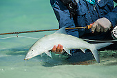 Bonefish Stock Photos