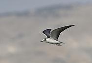 White-winged Black Tern - Chlidonias leucopterus<br /> juvenile/1st autumn