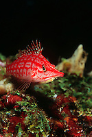 Longnose hawkfish close-up