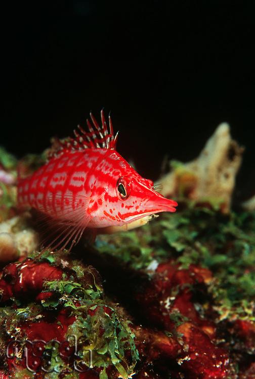Longnose hawkfish close-up