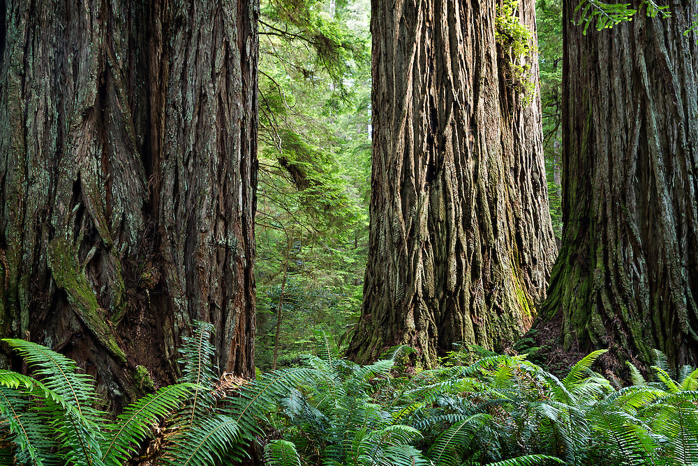 Giant redwood trees in the Grove of the Titans near Crescent City, California.