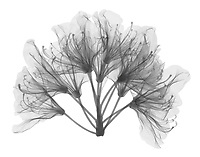 X-ray image of a rhododendron bloom, lateral view (Rhododendron, black on white) by Jim Wehtje, specialist in x-ray art and design images.