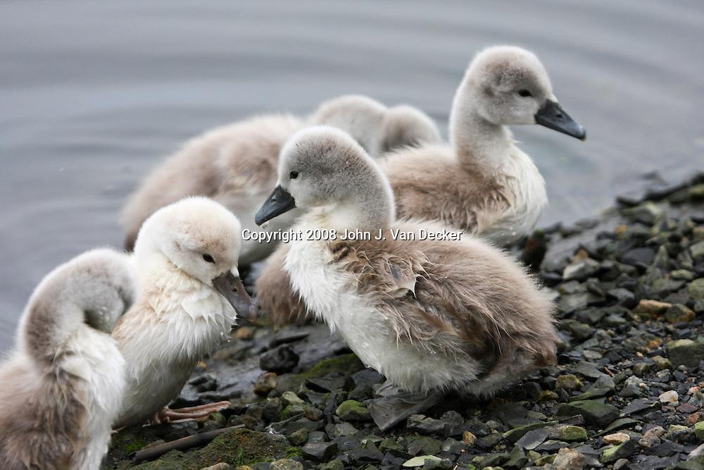 Mute swan goslings fledgling, fledglings