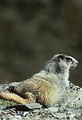 Wildlife: Marmot, Pine Marten