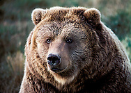 Grizzly Bear also called Brown Bear, Alaskan Brown Bear or Kodiak Bear.