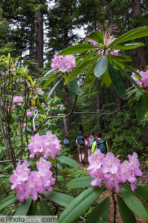 The Mount Townsend trail passes by native rhododendrons which bloom with pink/magenta flowers in late June. Hike 8 miles round trip and 3000 feet in steady vertical gain to an alpine ridge on Mount Townsend Trail #839 in Buckhorn Wilderness, on the Olympic Peninsula of Washington, USA. Contact Quilcene Ranger Station, Olympic National Forest.