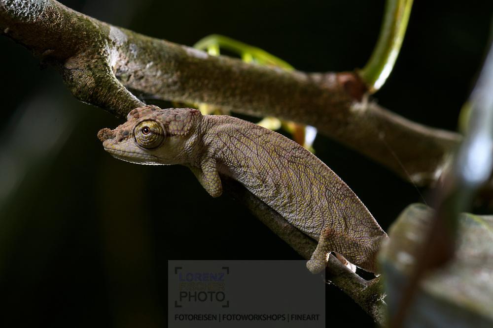 Ein Cham&auml;leon Calumma nasutum, Andasibe, Madagaskar<br /> <br /> Calumma nasutum, the nose-horned chameleon, Andasibe, Madagascar
