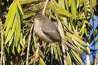 Roberts Warbler, Seldomseen, Bvumba, Manucaland Province, Zimbabwe