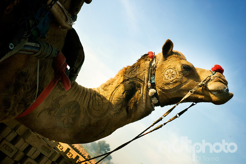 A camel seems to proudly show the traditional designs on its body obtained by cutting its hair. Rajasthan, India