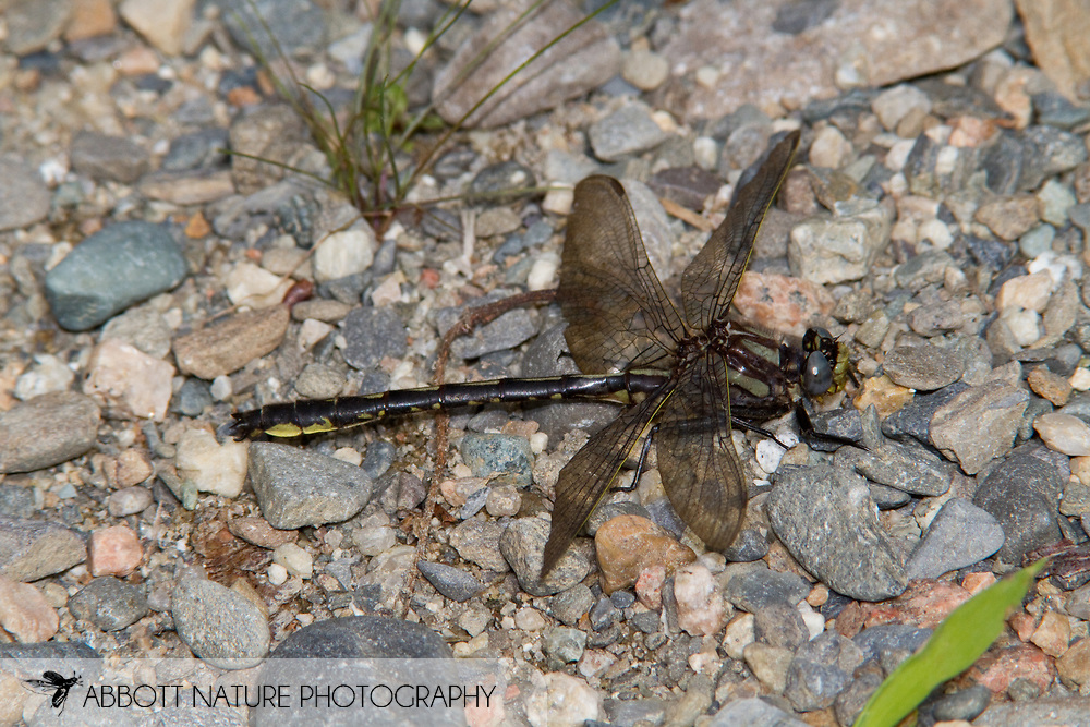 Beaverpond Clubtail (Phanogomphus borealis) - male<br /> MAINE: Penobscot Co.<br /> unnamed rd. along 1000 Acre Heath; South of Lee<br /> 27.June.2010<br /> J.C. Abbott