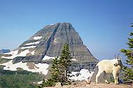 Mountain Goat, Bearhat  Mountain, Hidden Lake Trail, Glacier National Park