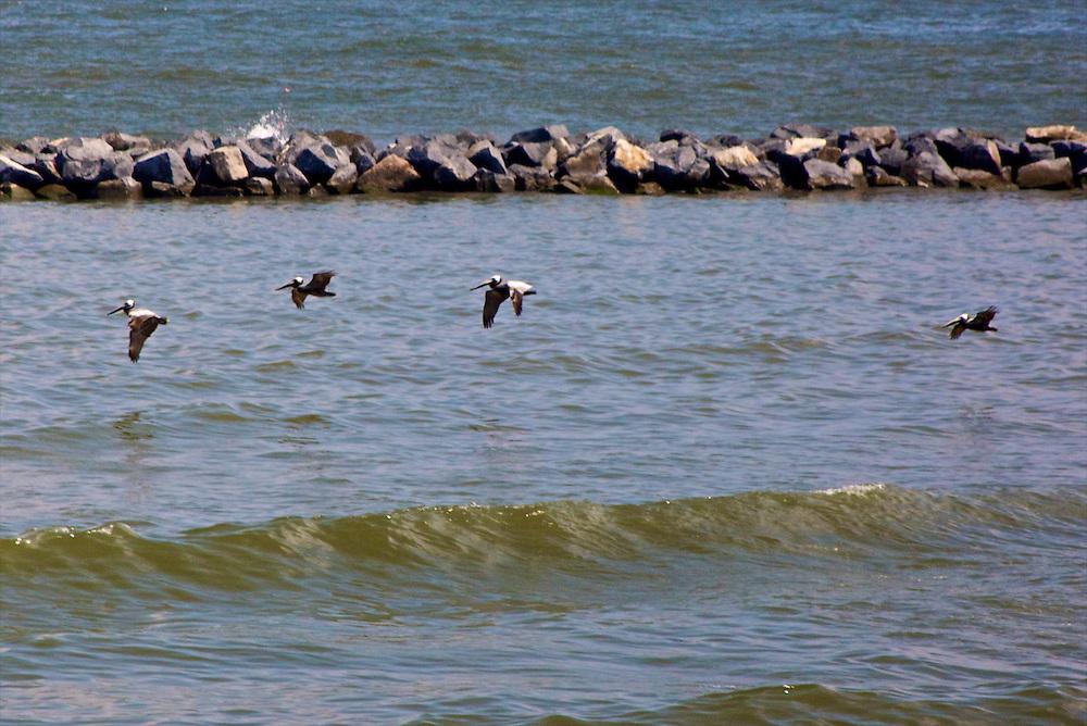 Pelicans, Grand Isle, LA
