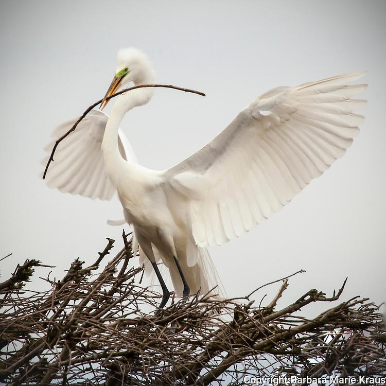 Egret bringing a twig for the nest.