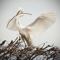 Egret bringing a twig for the nest.