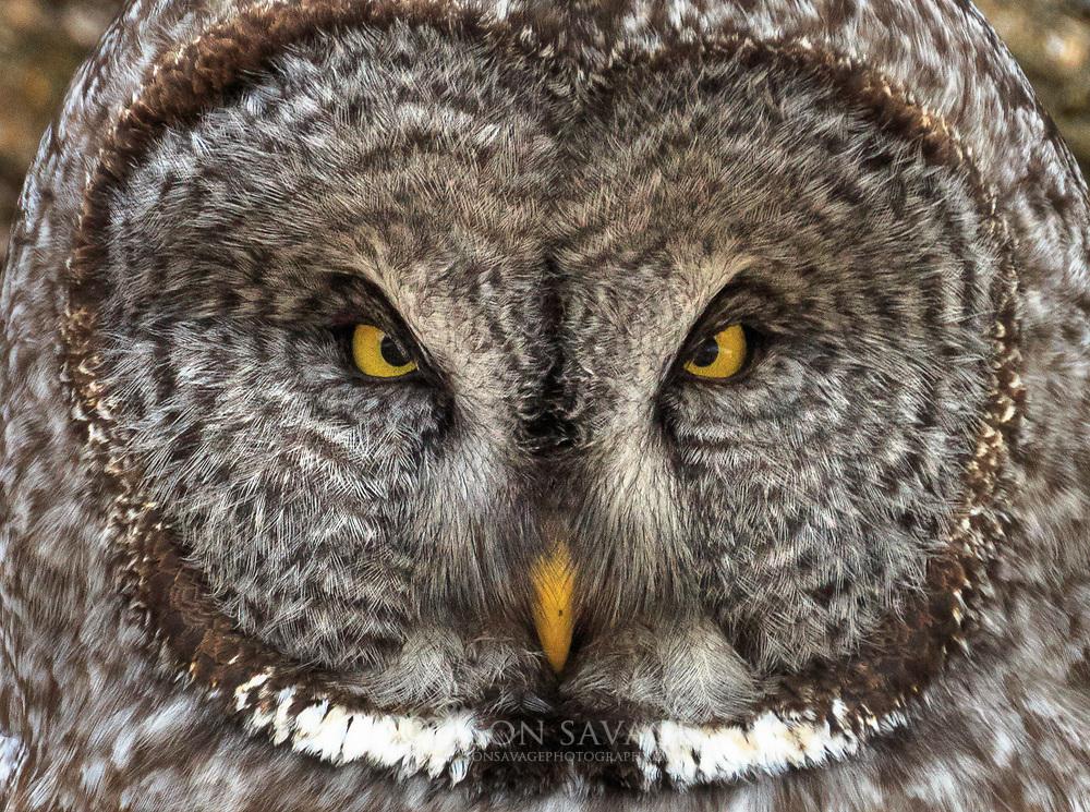 Great Gray Owl, Bozeman, Montana.