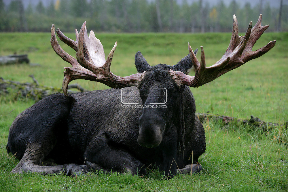 13th September 2008, Anchorage, Alaska.  A moose sits in the rain. PHOTO © JOHN CHAPPLE / REBEL IMAGES.tel: +1-310-570-910