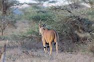 Male Eland in East African habitat