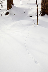 Mouse tracks in the snow at the Chapel Brook Reservation in Ashfield, Massachusetts. The Trustees of Reservations.
