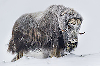The grand old Musk Ox bull gives me the Eye. In 15 degrees below zero snow and ice will form on these warm blooded creatures.