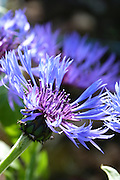 The glowing indigo blue flowers of Centaurea montana 'Grandiflora'.<br />