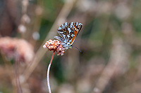 Apodemia mormo cythera (Mormon Metalmark) ♀ at Grizzly Flat, Los Angeles Co, CA, USA, on California buckwheat 18-Aug-18