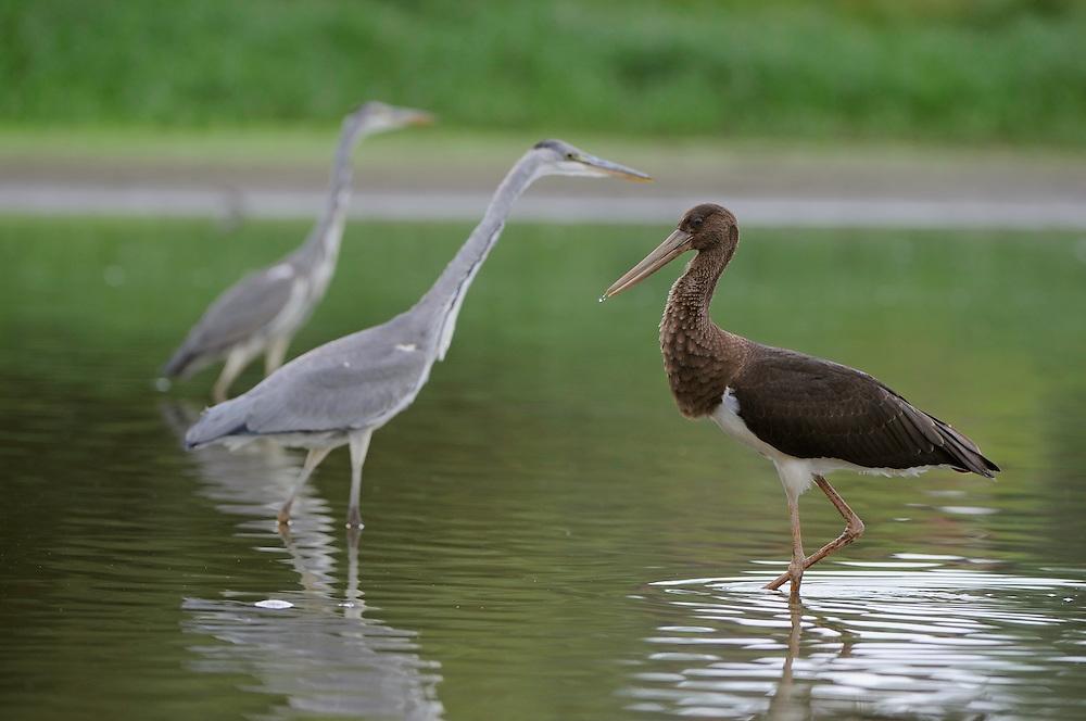Mission: Black Storks River Elbe Germany; Biosphärenreservat Niedersächsische Elbtalaue; Biosphere Reserve Middle Elbe; Graureiher; Grey Heron; Ardea cinerea; Schwarzstorch; Ciconia nigra; Black Stork; juvenil