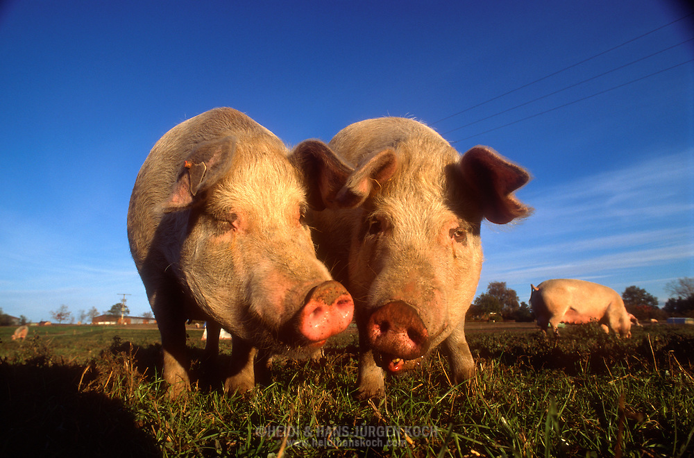 DEU, Deutschland: Hausschwein (Sus Scrofa f. domestica), zwei Sauen nebeneinander auf einer Wiese, Soziale Kommunikation, Seedorf, Schleswig-Holstein | DEU, Germany: Domestic pig (Sus scrofa f. domestica), two sows side by side on a meadow, social communication, Seedorf, Schleswig-Holstein |