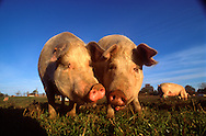 DEU, Deutschland: Hausschwein (Sus Scrofa f. domestica), zwei Sauen nebeneinander auf einer Wiese, Soziale Kommunikation, Seedorf, Schleswig-Holstein | DEU, Germany: Domestic pig (Sus scrofa f. domestica), two sows side by side on a meadow, social communication, Seedorf, Schleswig-Holstein |