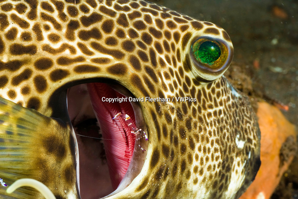 At a cleaning station a giant / starry pufferfish, Arothron stellatus, opens its gills to allow the commensal shrimp, Periclimenes venustus, to go inside in search of parasites, Bali, Indonesia.