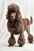 Pedigree Female Brown miniature poodle with traditional hair cut