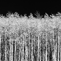 A high contrast black and white image of fall aspens.