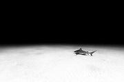 México, Quintana Roo, Playa del Carmen. A bull shark peacefully swimming near a sandy bottom some 60ft deep.