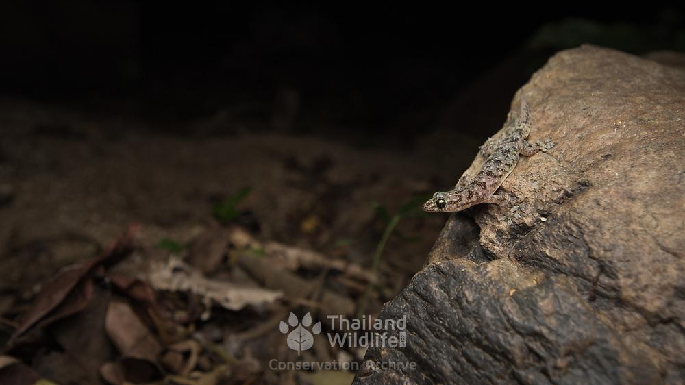 Fehlmann's Four-clawed Gecko (Gehyra fehlmanni) in Thayang district, Phetchaburi, Thailand