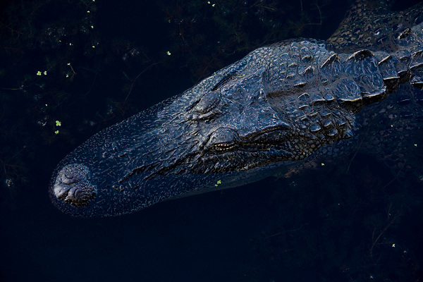 Stock photo of an American alligator, Alligator mississippiensis, at Brazos Bend State Park outside of Houston, Texas