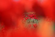Red tulip field // Veld met rode tulpen.