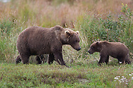 Portrait of adult and juvenile brown bear, Katmai National Park, Alaska