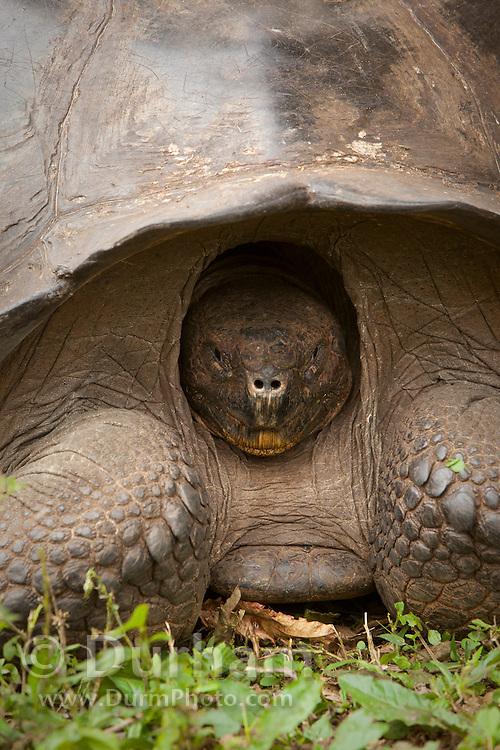 A giant galapagos tortoise (Geochelone elephantopus) with head retracted into its  carapace . Santa Cruz Highlands, Santa Cruz Island, Galapagos Archipelago - Ecuador.