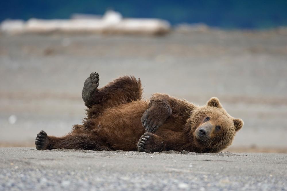 USA, Alaska, Katmai National Park, Brown bear (Ursus arctos) resting on tidal flats along Hallo Bay