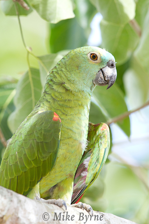 Blue-fronted Amazon parrot (Amazona aestiva) perched on a branch near Araras Eco Lodge (Pantanal, Mato Grosso, Brazil)