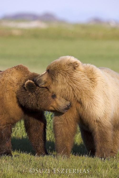 Alaskan Brown Bear<br /> Ursus arctos middendorffi<br /> Male courting female during mating season<br /> Katmai National Park, AK