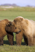 Alaskan Brown Bear<br /> Ursus arctos middendorffi<br /> Male courting female during mating season<br /> Katmai National Park, AK