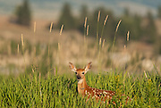 A young white-tailed fawn hides in the tall grass until his mother returns, Bitterroot Valley, Montana