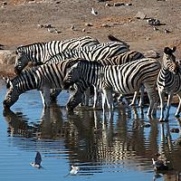 Africa, Namibia, Etosha. Burchell's Zebraat water hole in Etosha.