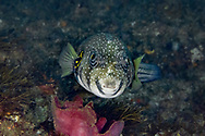 White spotted puffer-Poisson ballon à taches blanches (Arothron hispidus), indian ocean, South Africa.