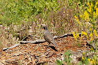 A male California Quail stands on an old rotting log in a northern Utah mountain valley.